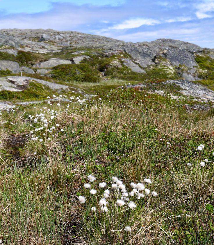 Sense and Simplicity - cotton grass on Quirpon Island, Newfoundland