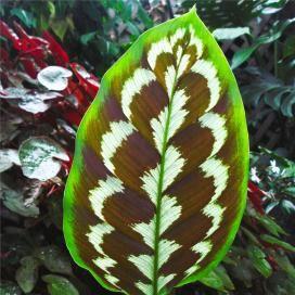 Картинки по запросу Calathea    Калате́я (лат. Calathea) — растение; род семейства Марантовые.  Родина — Центральная и Южная Америка. Это самый большой род в семействе. Название происходит от древнегреческого Kalathos – корзина: листья калатей использовали для плетения корзин.