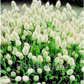 Touch: Lagurus Ovatus: Bunny tails grass. Easy to grow, stunningly soft to touch