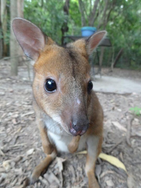Little Wallaby