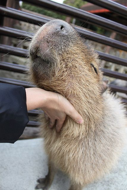 Capybara cuddling--check out this big rodent's facial expression particularly his/her? mouth...adorable.