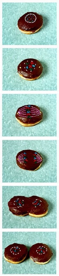 one / one = Twins!: Cookies, Doughnut, Cupcakes, Schools, Cell Division, Science Humor, Donuts Mitosis, Teacher, Mitosis Donuts