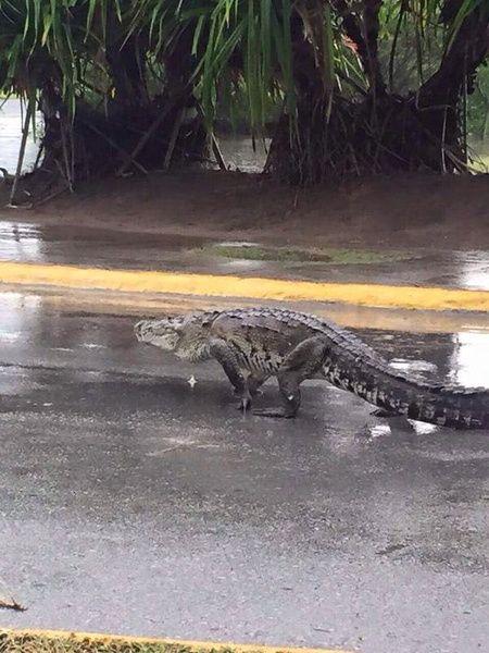 Fotos de cocodrilos en calles no son de Costa Rica
