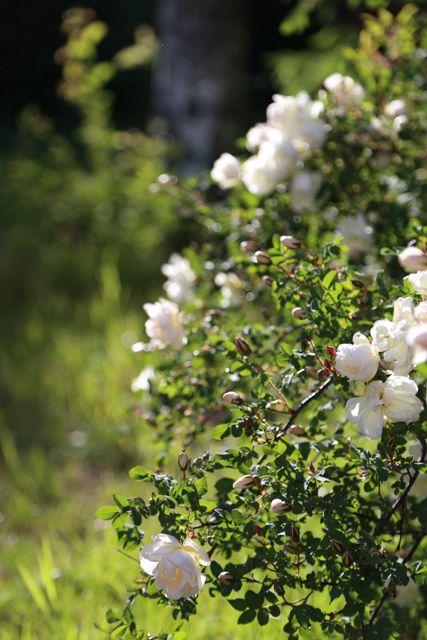 Juhannusruusu // rose