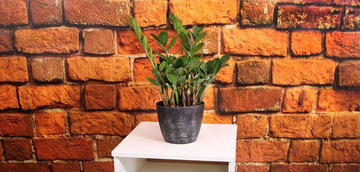 zz plant care instructions