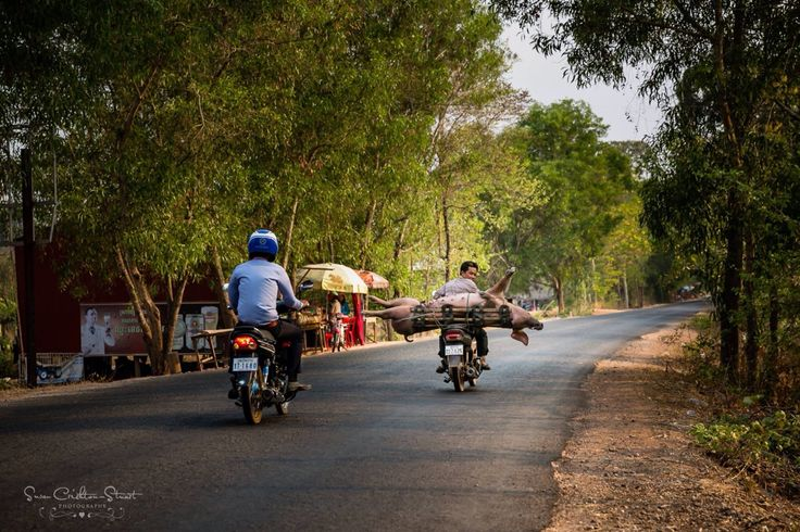 "This ""Little"" Pig is on its way to Market: A live pig being taken by motorbike to the slaughter house along the ""highway"" in Siem Reap, Cambodia ~ Susan Crichton-Stuart"