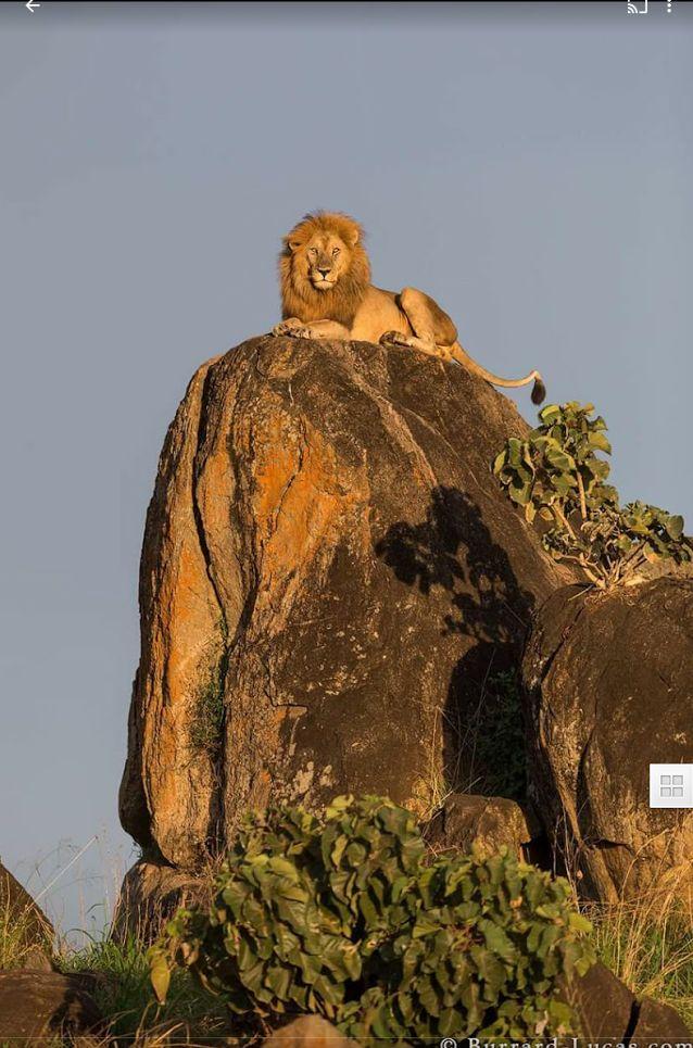 LION KING                                                                                                                                                                                 More