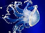 10 extraordinary jellyfish species