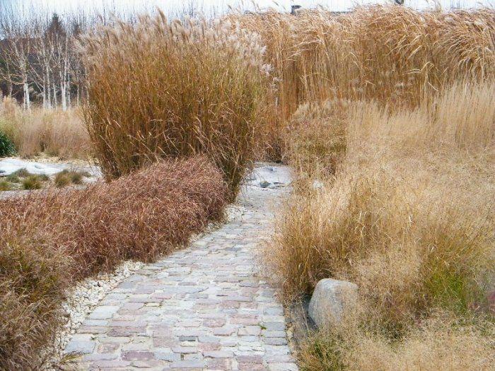 Złote trawy Ogrodu Lato mimo srogiej zimy nie dają za wygraną.