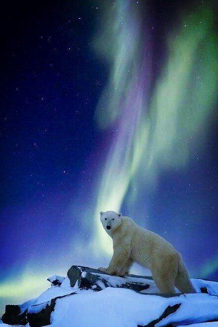 polar bear: Oh, sHell NO !                                                                                                                                                      More