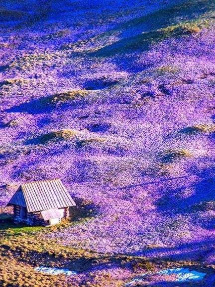 Beautiful Crocuses in the Tatra Valley, Poland