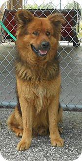 Bunnell, FL - Chow Chow/German Shepherd Dog Mix. Meet Chewbacca, a dog for adoption. http://www.adoptapet.com/pet/12924966-bunnell-florida-chow-chow-mix