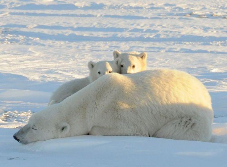 Churchill in Manitoba, Canada: ijsberen, elanden, zwarte beren, wolven, rendieren en poolvossen.