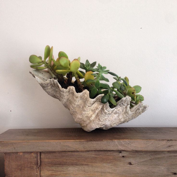 Succulents in clam shell