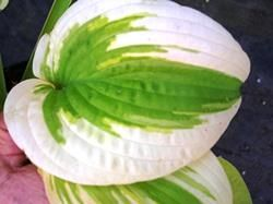 Hosta Delta Dawn. eaves are slightly corrugated and wavy. Unique coloration with the chartreuse leaf surrounded by wide white margins.  This hosta produces lavender flowers.   Color: Chartreuse and white Size:  20 inches tall by 48 inches wide