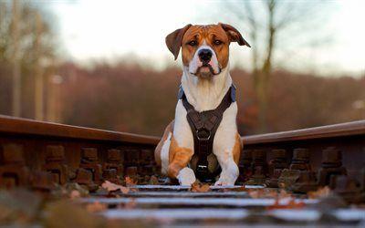 Scarica sfondi guide, ferrovia, american pit bull terrier