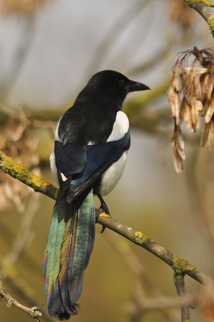best 25 eurasian magpie ideas on pinterest magpie pretty birds