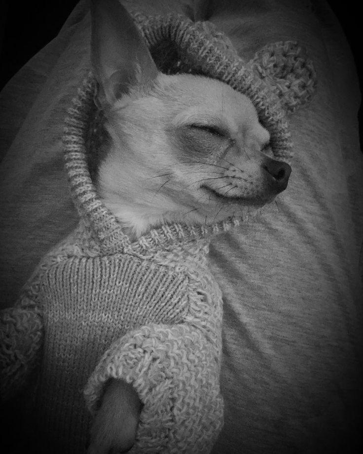 Goodnight Instagram sweet dreams #LittleLillychihuahua #chihuahua #chihuahuas #lilly #lillyloo #littlelilly #lillychihuahua #littlelillyloo #doggiefashion #dogoutfits #cool #hotdog #pamperedpooch #dogmodel