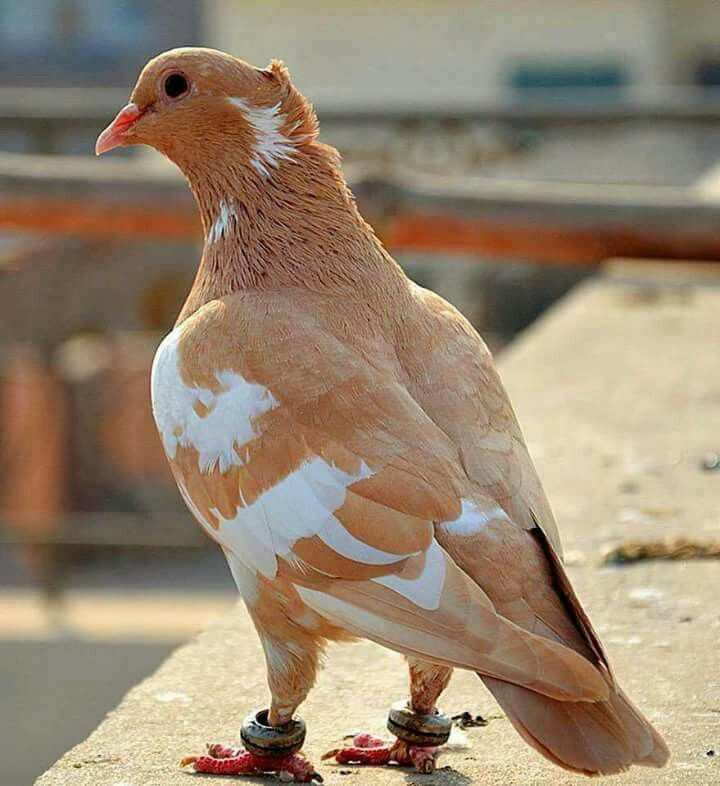 Light Brown and White Pigeon