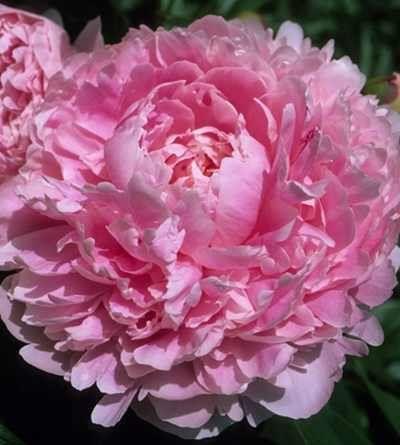 Sarah Bernhardt Peony Root Flower