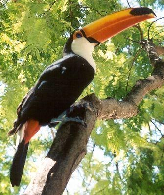 Tucano-pantanal-Brasil