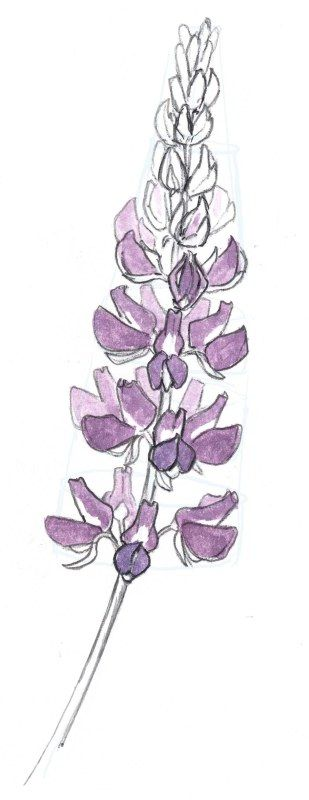 Best 25 flower sketches ideas on pinterest flower drawings how to draw a lupine by john muir laws ccuart Image collections