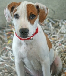 Dudley is an adoptable Hound Dog in McKinney, TX.  Primary Color: White Secondary Color: Red Weight: 23.5 Age: 0yrs 3mths 1wks  Animal has been Neutered...
