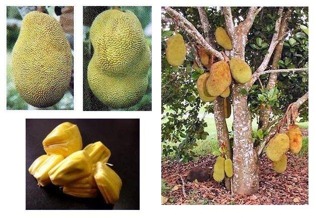 Recipes: Fruit of Thailand - 8. - Jackfruit ( Kà-nŏon )