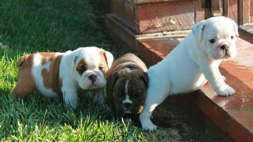ADORABLE AKC ENGLISH BULLDOG PUPPIES