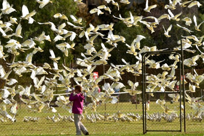 Adelaide calls for help from state government over 'near plague proportions' of Corellas