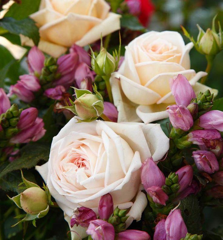 Duftrose Madame Anisette de Rosas Kordes