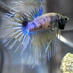 17 best images about betta tips on pinterest water for Do betta fish need a filter