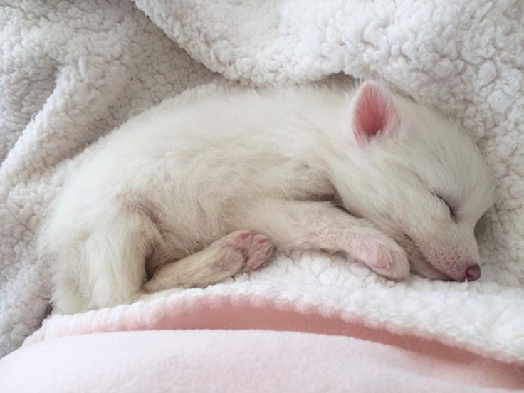 Best Domesticated Silver Fox Ideas On Pinterest Red Tail Fox - Domesticated baby fox is the cutest and sleepiest pet ever