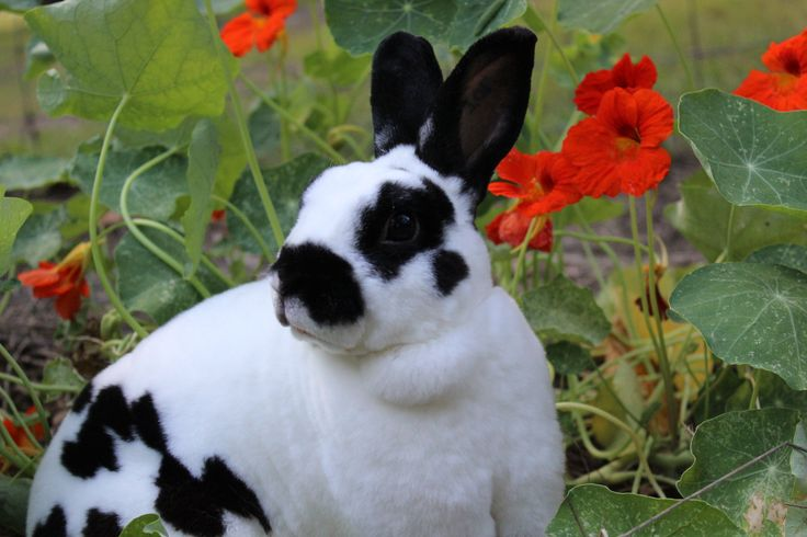 Broken Black Mini Rex rabbit http://owensrunrabbitry ...