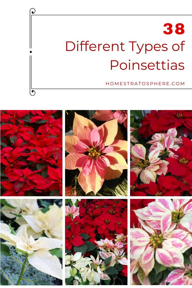 38 Different Types Of Poinsettias Different Types Of Lilies Types Of Lilies Poinsettia