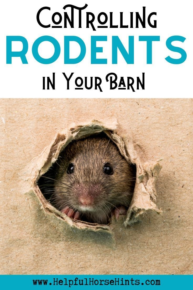 Controlling Rodents Rat And Mice Control For Your Barn Mice Control Rodents Barn