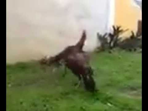 Rooster fighting Super speed 20