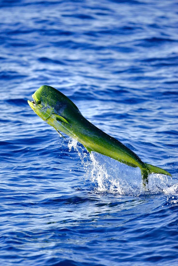 17 best images about fishing on pinterest mahi mahi for Best deep sea fishing