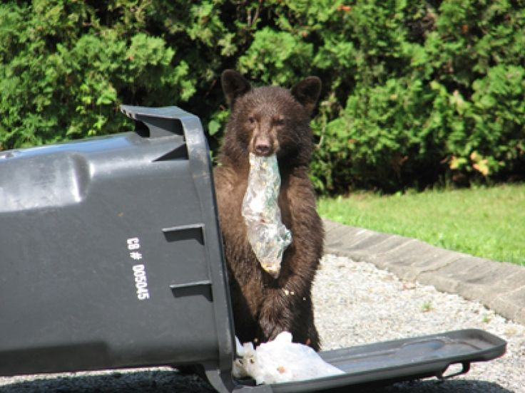 So far this year, Coquitlam has handed out 55 fines to residents leaving garbage unsecured or failing to clean up other bear attractants.
