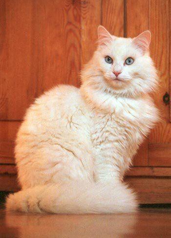 Ankara kedisi - Angora cat.  Habitat; Turkey.