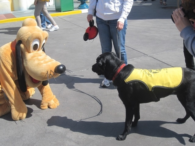 Guide Dog In Training Pluto