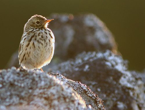 Meadow Pipit in the evening sun