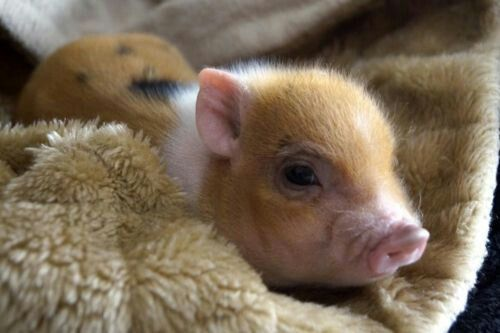 Pot Bellied Pigs as Pets  What to Expect from a Pet Pig ...