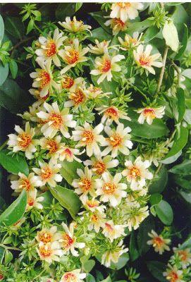 Flores de Ora pro nobis