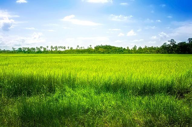Paddy fields in Siem Reap, Cambodia