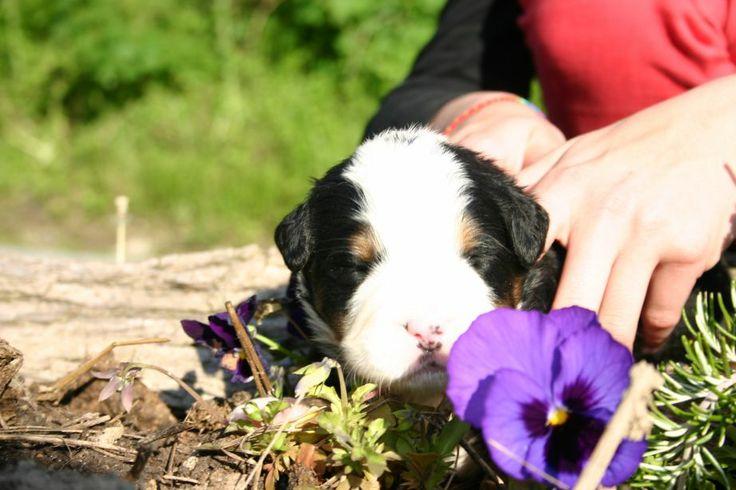 cucciolo bovaro del bernese