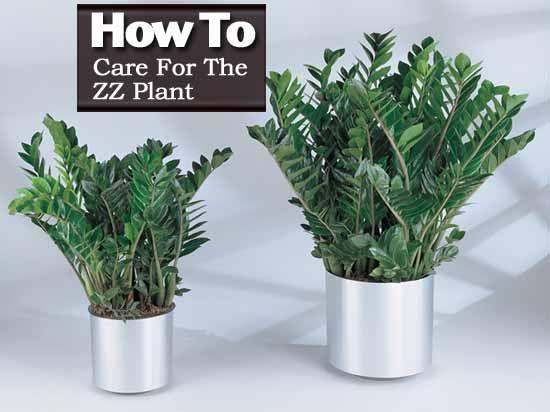 Zz Plant Care Tips How To Grow Zamioculcas Zamiifolia