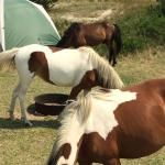 The Best Ocean Campground on the East Coast - Review of Assateague State Park Camping, Berlin, MD - TripAdvisor