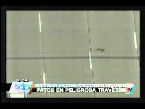 Familia de patos que cruza una carretera es sensación en - https://www.facebook.com/radioglobo/videos/10152204442771444/