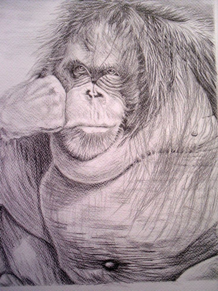 Drawing. Orangutan Moments, graphite pencil. Artwork done by Marilyn Theisel